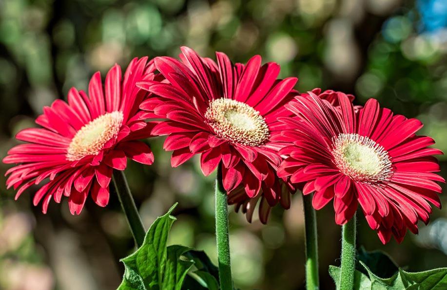 gerbera çiçeği anlamı