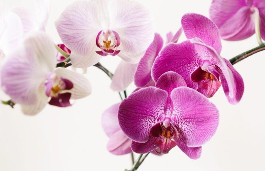 orkide çiçeğinin anlamı