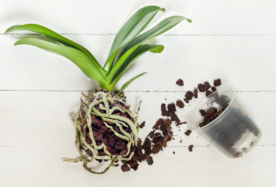 orkide saksısı değiştirme