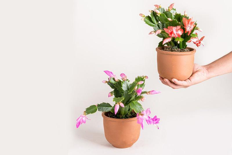 yılbaşı çiçeği nedir