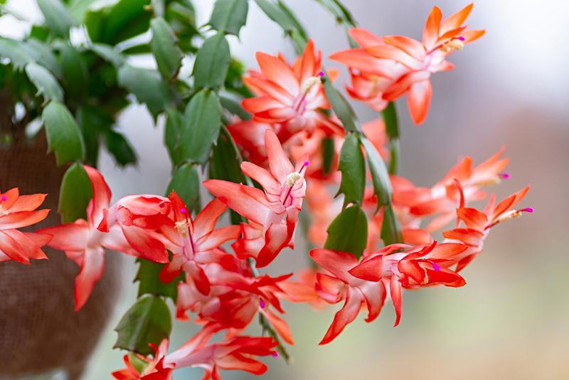 yılbaşı çiçeği