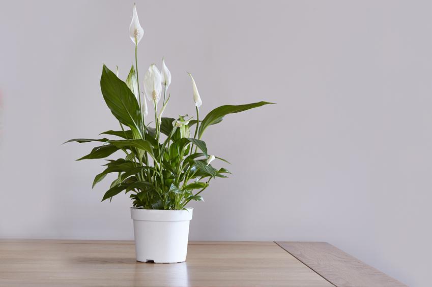 ev çiçeği