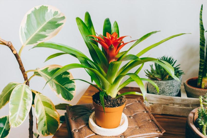 ev saksı çiçeği