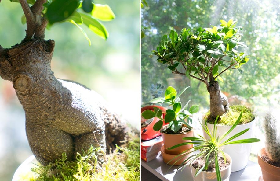 bonsai nasıl bakılır