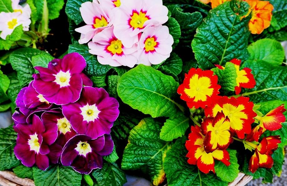 cuha çiçeği