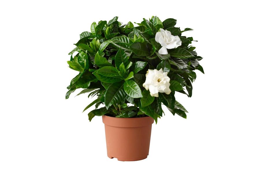 gardenya cicegi