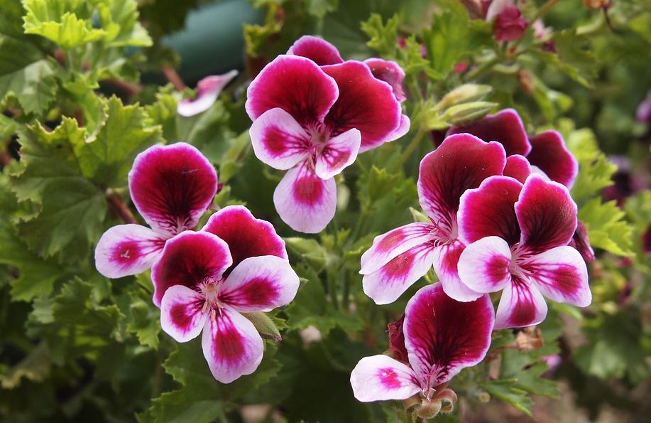 Itır çiçeği