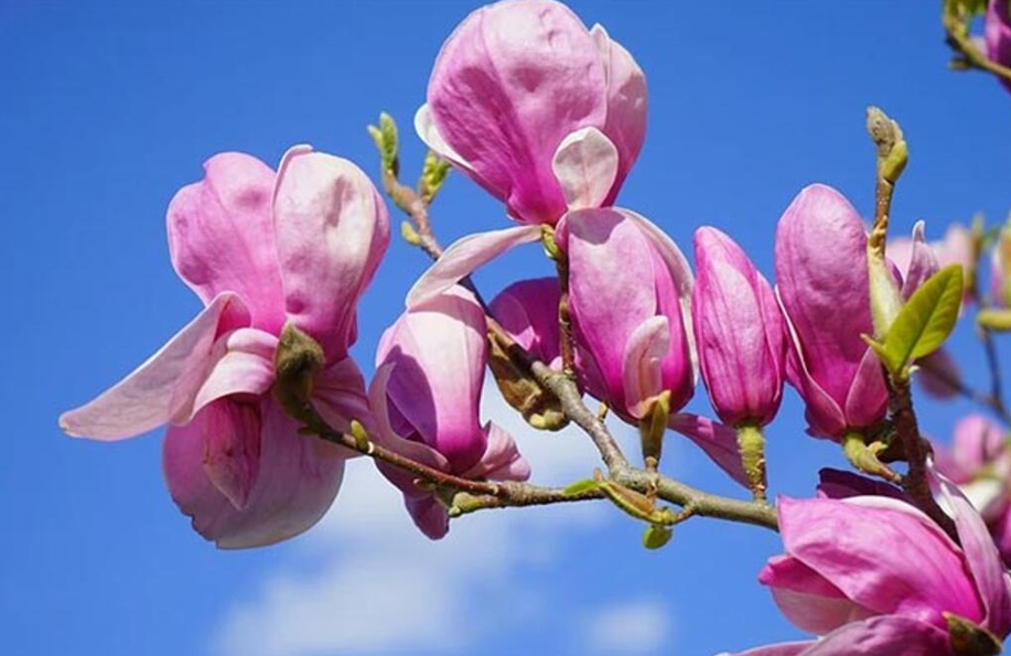 manolya çiçeği