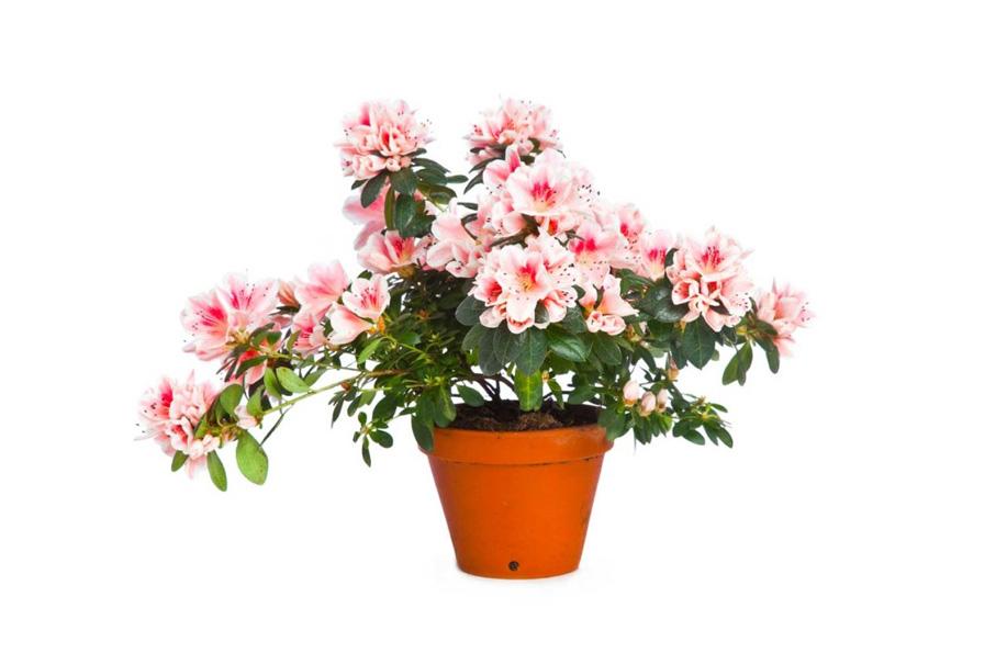 saksı çiçekleri isimleri